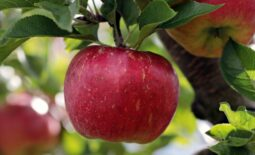 apple-2788616_1920